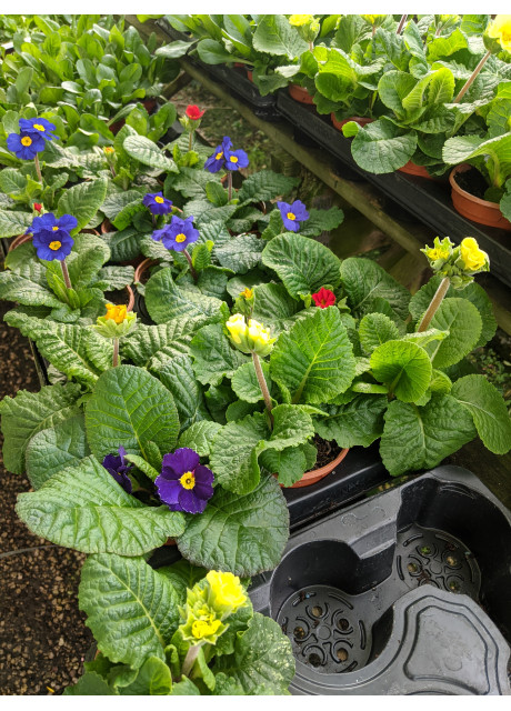 Polyanthus From £1.00