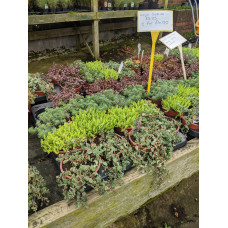 Large Sedum Mixed from £3.25